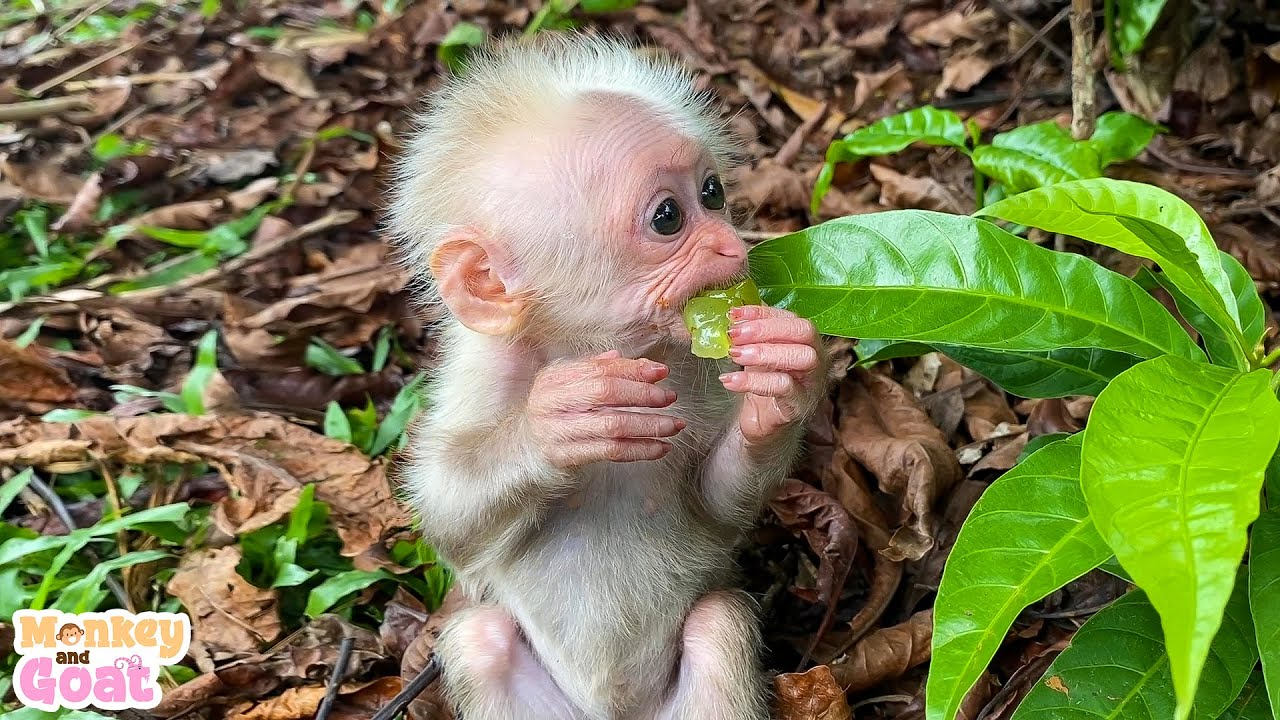 Baby monkey BiBi loves grapes