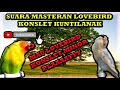 Jangan Di Play Nanti Lovebird Anda Konslet  Mp3 - Mp4 Download