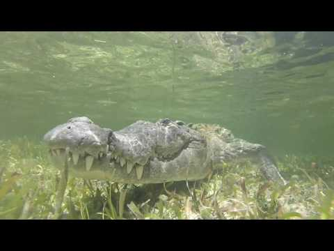 Mexico Banco Chinchorro snorkeling with crocodiles