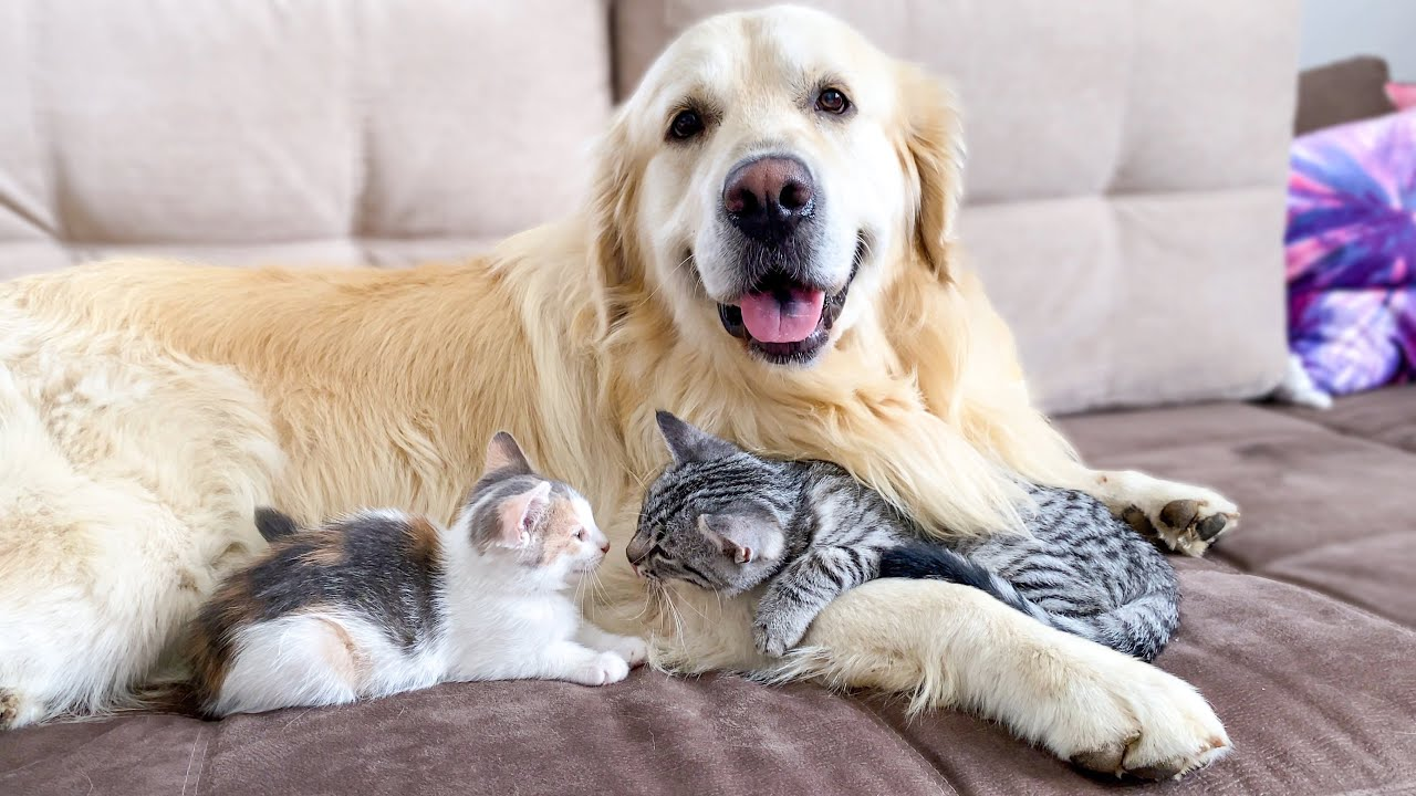 Cute Baby Kittens think the Golden Retriever is their Mother