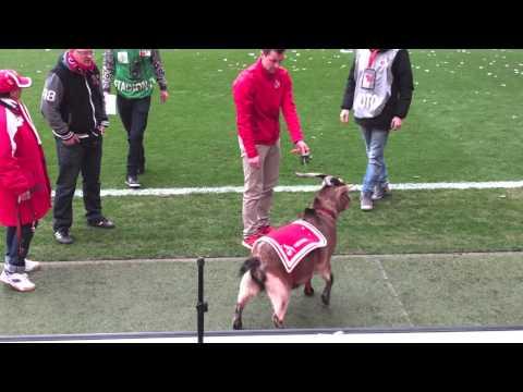 1. FC Köln - Hennes reißt aus