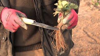 Jak sadzić truskawki Zielone - Poradnik dla ogrodników