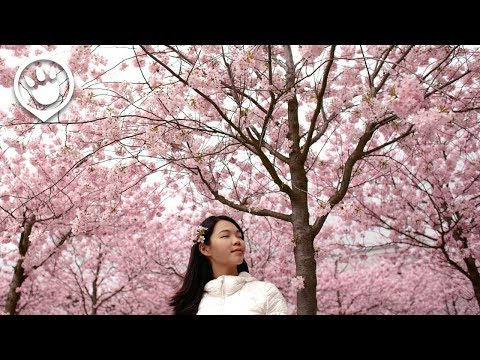 Cherry Blossoms in Korea: 2017 Forecast