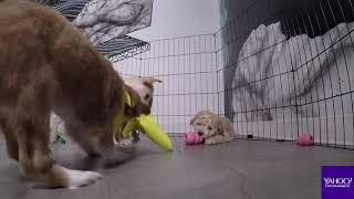 Baixar Meet some of the puppies featured on Puppy Bowl 2019