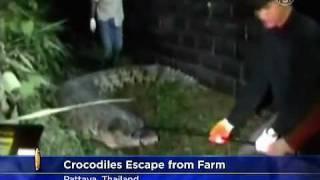 Thái Lan: Cá sấu trốn thoát khỏi trang trại do lũ lụt thumbnail