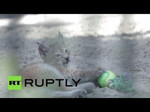 В новосибирском зоопарке домашняя кошка «удочерила» малыша рыси