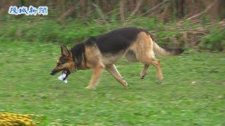 県警の嘱託警察犬研修会が16日、水戸市中河内町の那珂川河川敷で開かれ...