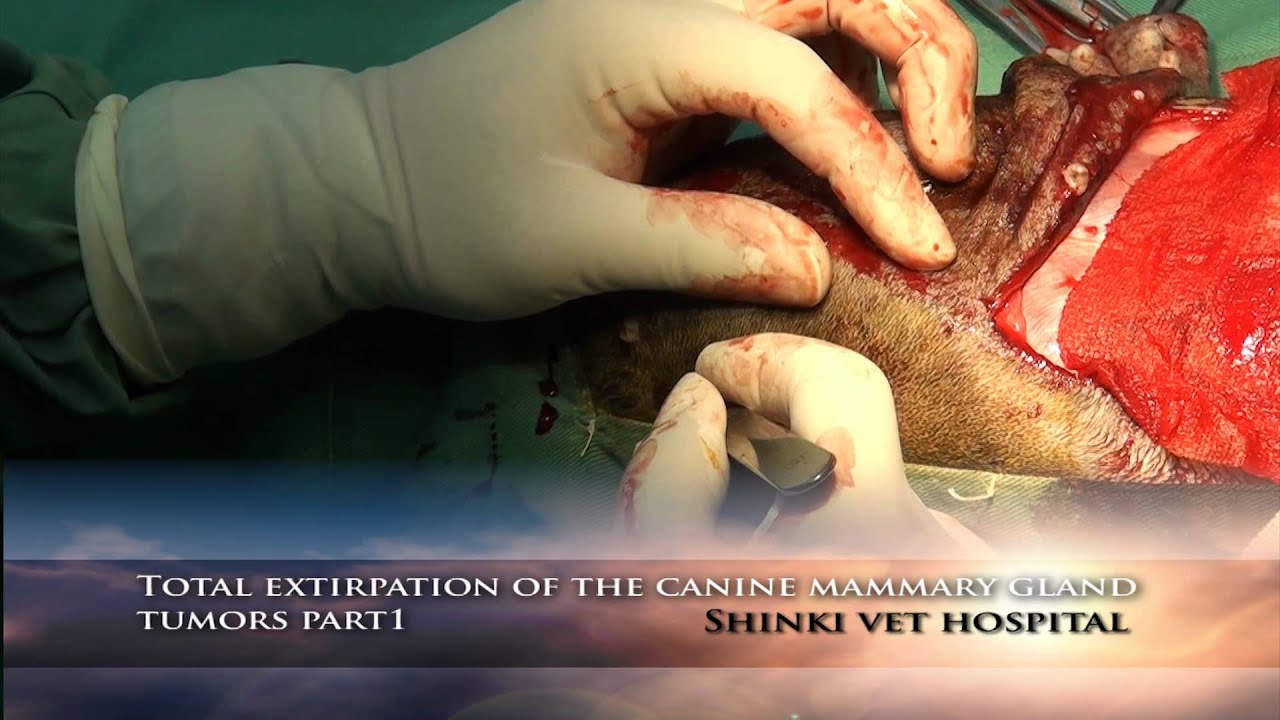 Total extirpation of the canine mammary gland tumors part 1 - YouTube