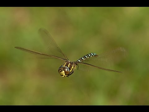 Common Hawker Dragonfly (Aeshna juncea)
