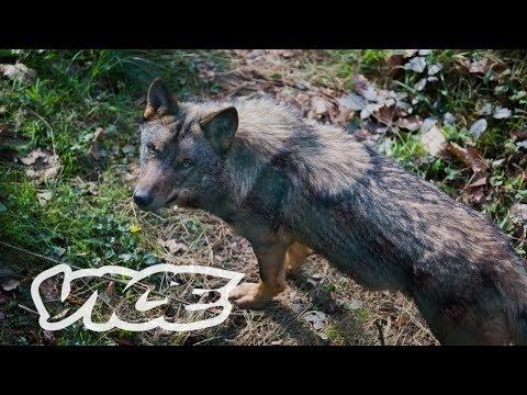 ibérica:-¿quién-teme-al-lobo-ibérico?