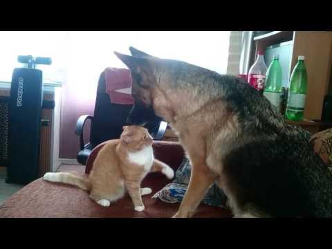 Кошка против немецкой овчарки