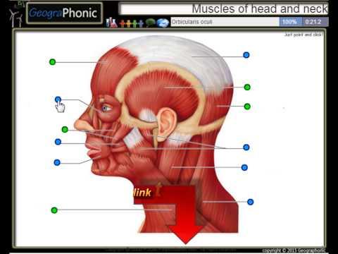 anatomie exercice les muscles de la t te et du cou youtube. Black Bedroom Furniture Sets. Home Design Ideas