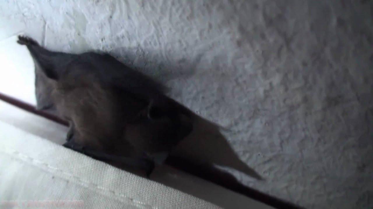 Bat in my room / Fledermaus in meinem Zimmer (full HD) - YouTube
