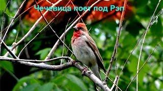 Мои Птицы - Чечевица поёт под Рэп , Овсянки