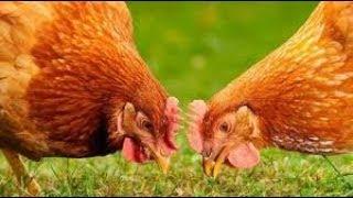 Stare kury i młode kurczaki 😂