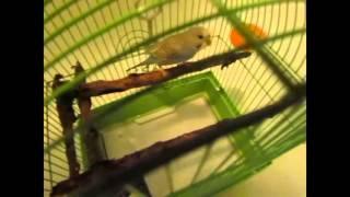 Как купать не ручного попугая  Как мыть попугая