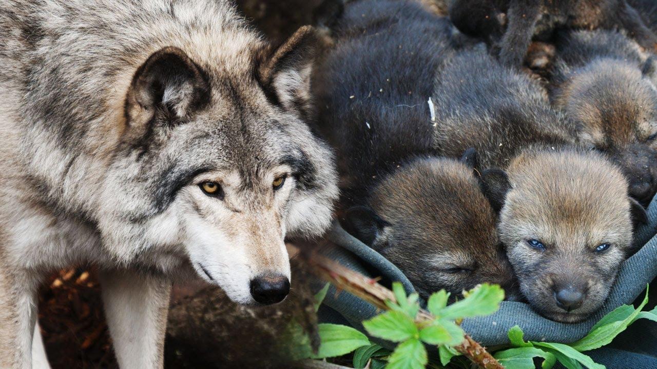 Старый волк нашел в лесу МАЛЕНЬКИХ ВОЛЧАТ. Они были слабы ...