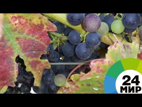Солнца достаточно: армянские фермеры выращивают виноград без «химии» - МИР 24
