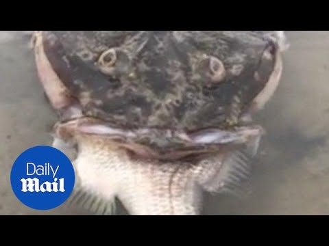 Incredible Moment Fish Chokes On Fish Too Big To Swallow - Daily Mail