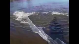 Столько рыбы из невода за один раз женщины ещё не видели
