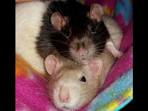 RATS DO MANNEQUIN CHALLENGE