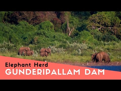 Elephant Herd | Gunderipallam Dam | Gobichettipalayam | Sathyamangalam Tiger Reserve