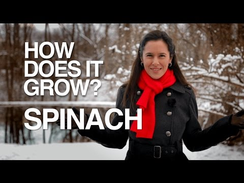 Video image: How Does it Grow? Hydroponic Spinach