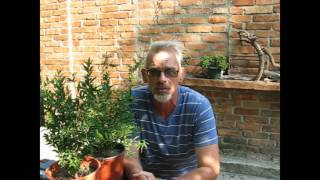 видео Выращивание граната в открытом грунте