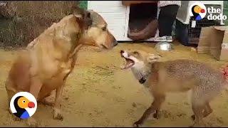 Fox Loves Her Rescue Dog | The Dodo