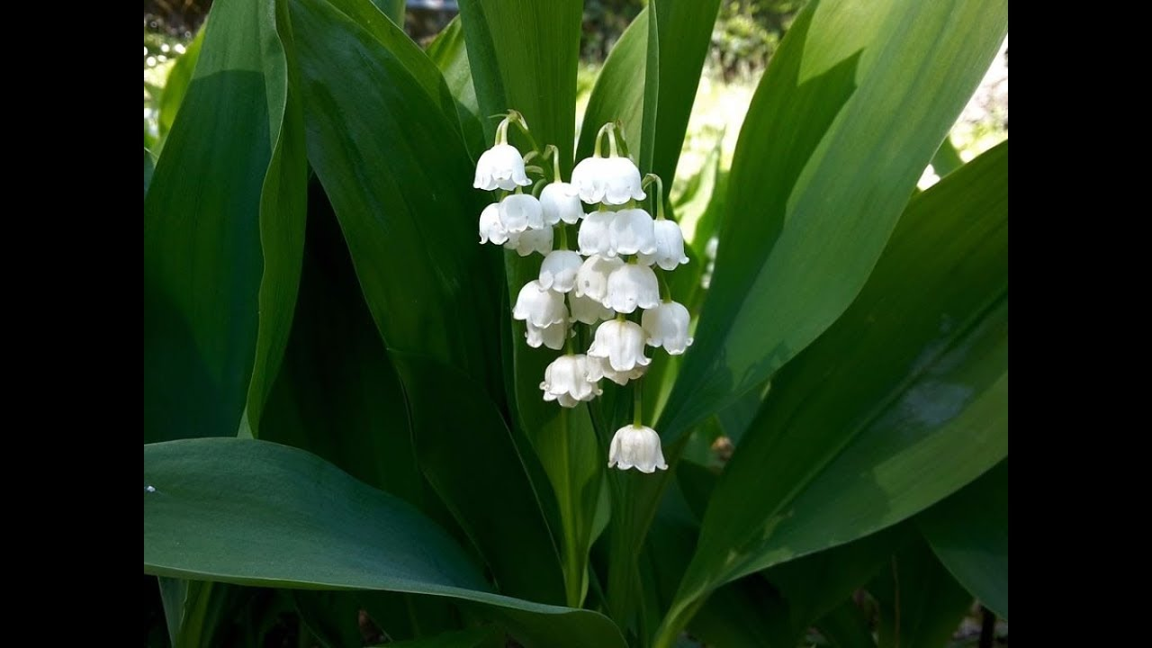 Amazing and most beautiful lily of the valley flowers youtube amazing and most beautiful lily of the valley flowers izmirmasajfo Images