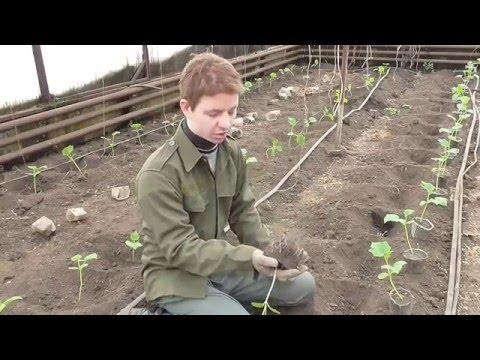 видео: Посадка огурцов в теплице