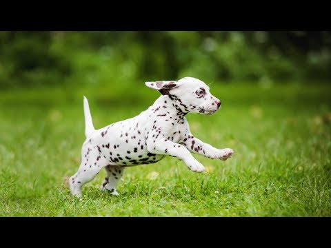 Dalmatian Dogs Compilation – Funny Dog Videos