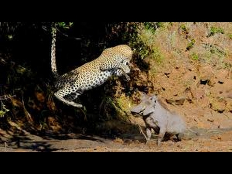 Leopard attacks hippo. Most Amazing leopard vs hippo