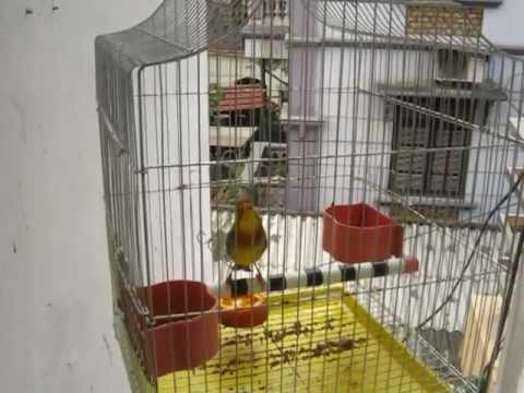 Chim Quế Lâm