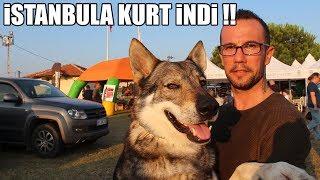 İSTANBULA KURT İNDİ !! ( Kangal, WolfDog, Rottweiler, Amstaff) K.I.F Etkinliği, #şampiyonlarligi #1