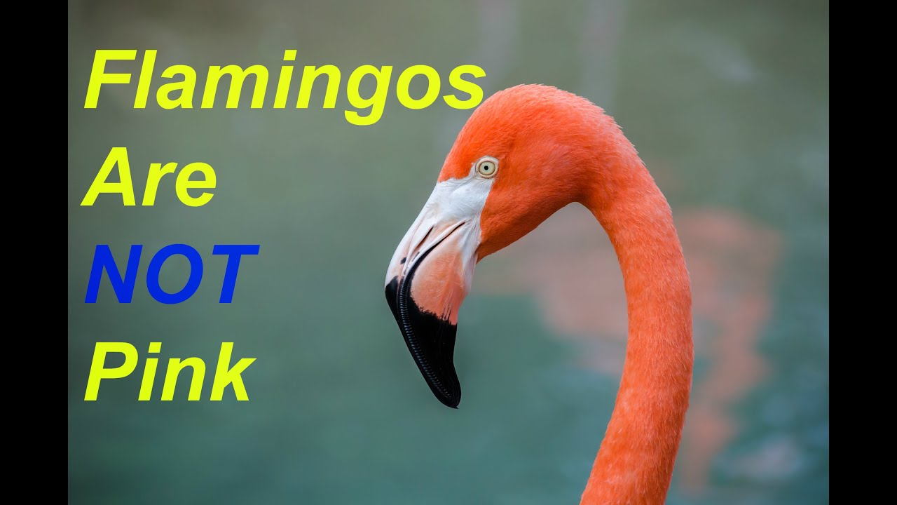 Why Do Flamingos Ear Pink 10 Facts About