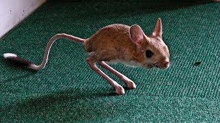日本ではほぼ見られない珍しいカンガルーハムスター♡~An unusual kanga...