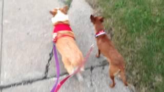 My Corgi And Foster Min Pin On A Walk.