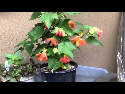 Flowering Maple 'lucky Lantern' - Abutilon