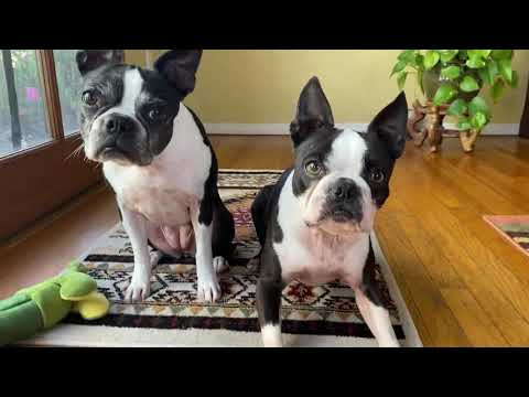 Boston Terriers on lockdown - day 14 in San Diego