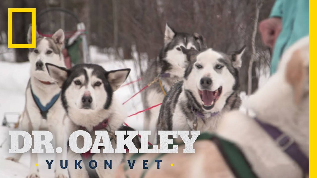 How To Check A Sled Dog  Yukon Do It