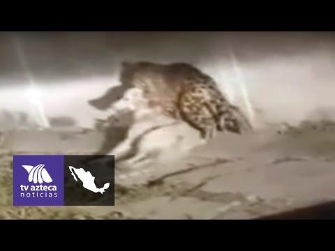 Video: de dónde salió el jaguar que mató a un perro en Jalisco