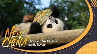 Live: Check out SW China's panda haven 看熊猫,了解中国如何推进防灾减灾