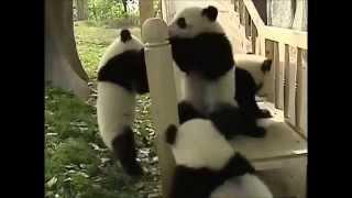 Панды катаются с горки  Приколы с животными Смешное видео