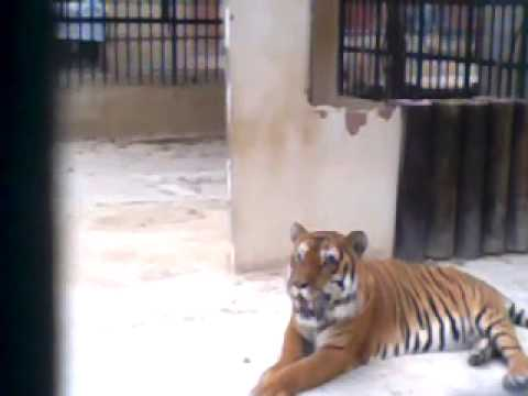 Tiger in lebanon