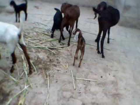 Best goat Multan for umer house