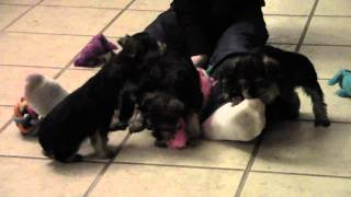 Snorkie Puppies For Sale, Maryland, Massachusetts