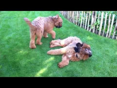 Briard pups 6 months - Django and Biu playing