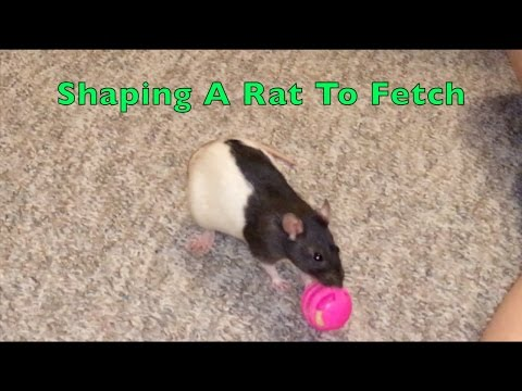Clicker-Training: Shaping A Rat To Fetch (Demonstration)