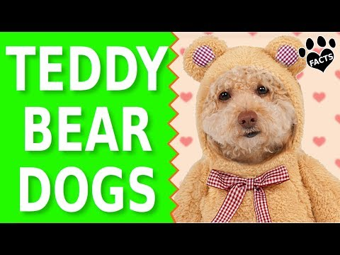 Top 10 Small Dog Breeds That Look Like Teddy Bears